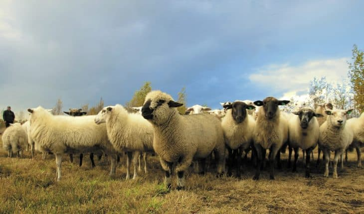This Flock Of Sheep Is Very Real, Even Though It Looks Like A Hallucination. Soni News